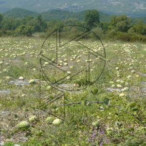 Melouny, co Albánie nesbírá