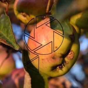 Jablka (2020)